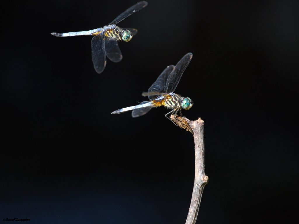 Dragonflies playing
